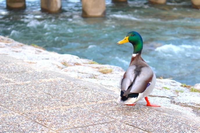 川から上がっている鴨も。