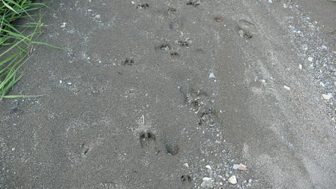 雪や柔らかい土の上には足跡が残る