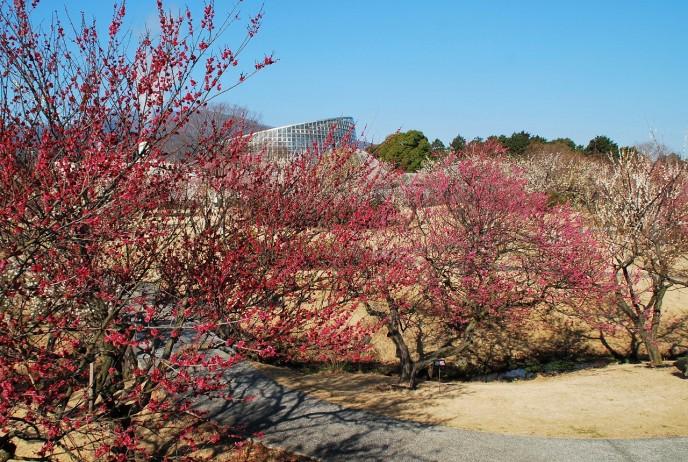 早咲きから遅咲きまで、約200品種480本の多種多様な梅をお楽しみいただけます。(小田原フラワーガーデン提供)